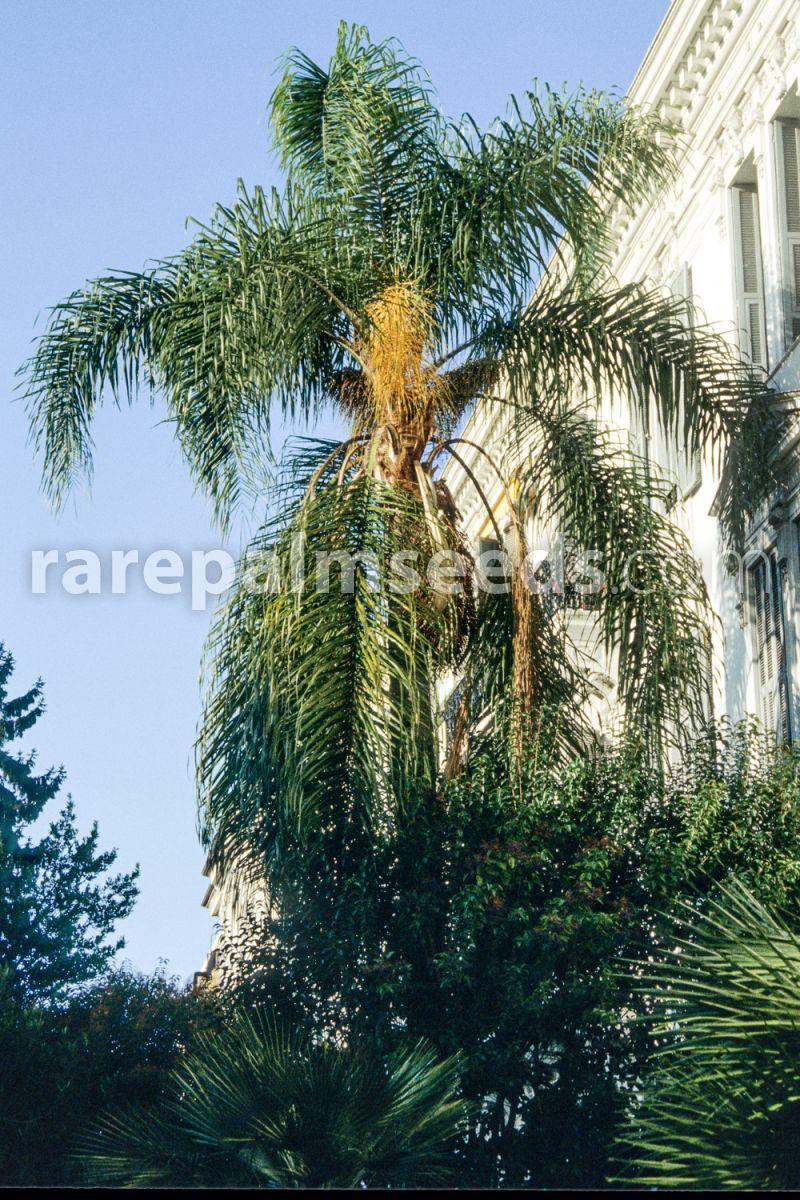 The Queen Palmier Syagrus Romanzoffiana 10 Graines