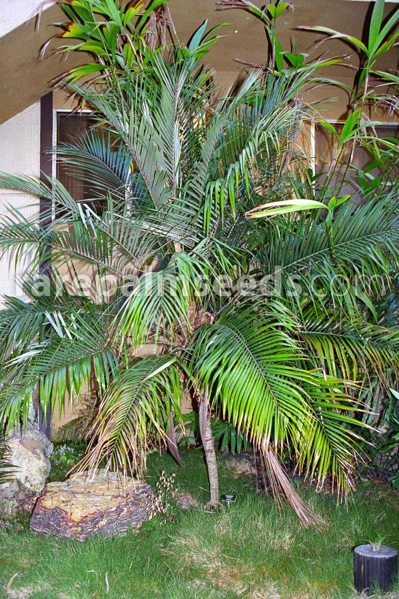5 Semi Syagrus weddelliana Lytocaryum weddellianum
