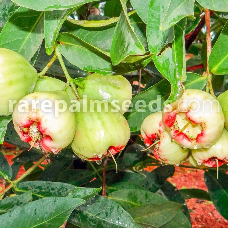 Syzygium samarangense – Wax Apple – Buy seeds at