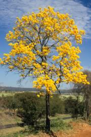 Tabebuia chrysotricha – Goldtrompetenbaum