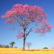Tabebuia impetiginosa – Pink Ipê, Pink Lapacho