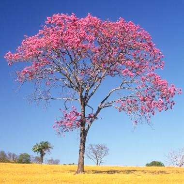 Tabebuia impetiginosa – Lapacho rosado