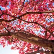 Tabebuia impetiginosa 'Red' – Lapacho rosado