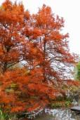 Taxodium distichum var. distichum – Northern Bald Cypress