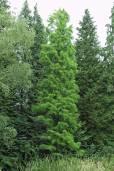 Taxodium distichum var. imbricatum – Pond Cypress