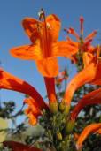 Tecoma capensis – Chupamieles del Cabo, enredadera de trompeta