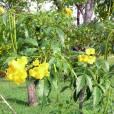Tecoma stans var. stans – Yellow Trumpetbush