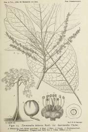 Terminalia bellirica – Badamier géant