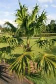 Thrinax parviflora – Berg-Dreizackpalme