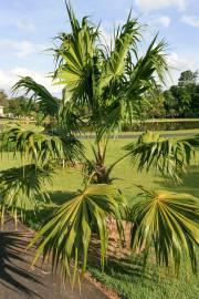 Thrinax parviflora – Mountain Thatch Palm