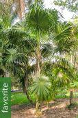 Thrinax radiata – Florida Thatch Palm