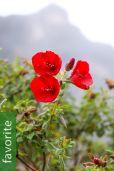 Tibouchina grossa – Carmine Princess Flower
