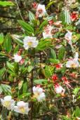 Tibouchina lepidota 'Alba' – White Andean Princess Flower