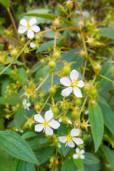 Tibouchina longifolia – Longleaf Glorytree