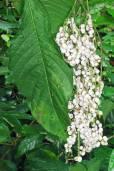 Tournefortia glabra