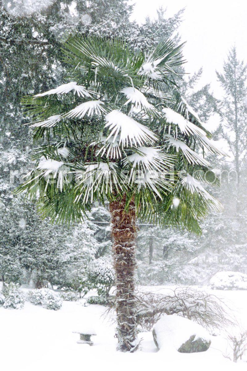 Trachycarpus Wagnerianus UK Winter Hardy Palm tree Seeds Seed 50 QTY ;