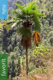 Trachycarpus latisectus – Windamere Palme