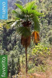 Trachycarpus latisectus – Palmera Windamere