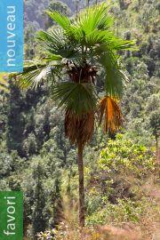 Trachycarpus latisectus – Palmier Windamere