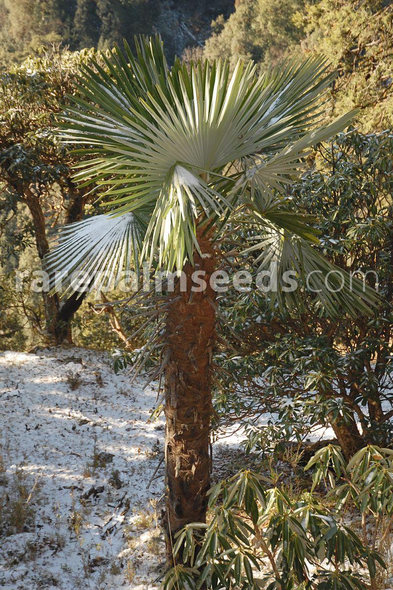 Trachycarpus takil KUMAON PALM 5 seeds