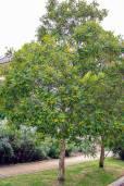 Tristaniopsis laurina – Kanooka, Water Gum