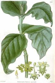 Vangueria infausta – African Medlar