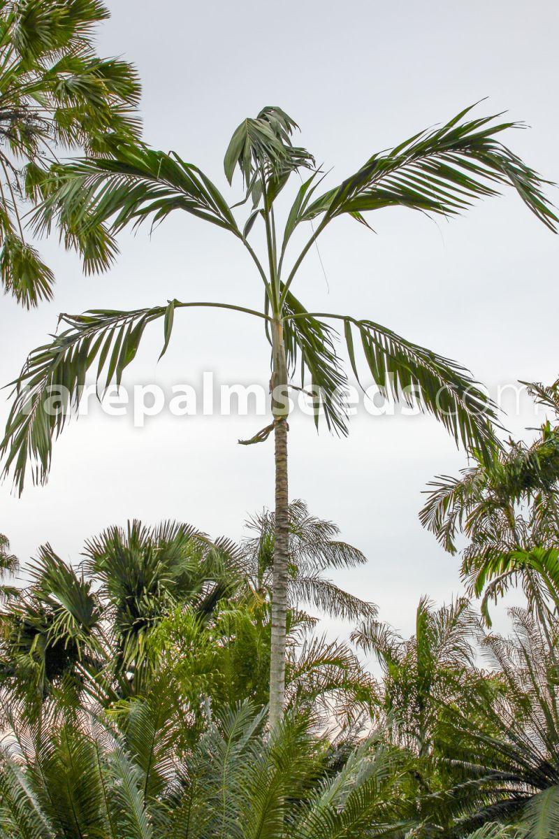 NEW 2 Big seeds palm Hyphaene petersiana beautiful palm Thailand