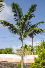 "Usine-Live Starter VEITCHIA winin-malakula Palm 15-20 cm 6/"""