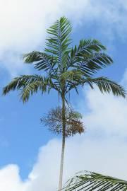Veitchia winin – Malakula Palm