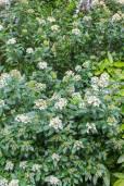 Viburnum tinus – Mittelmeer-Schneeball