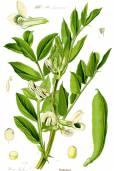 Vicia faba – Fava Bean