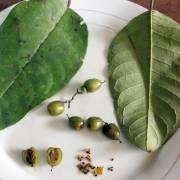 Vismia lateriflora – Achottillo