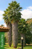Washingtonia robusta – Skyduster, Mexican Cotton Palm