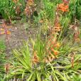 Watsonia pillansii – Lys bugle
