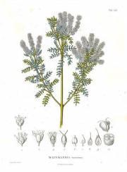 Weinmannia tomentosa – Encenillo, encenillo negro