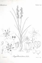 Wurmbea dioica