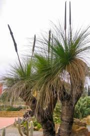 Xanthorrhoea preissii – Common or Western Blackboy
