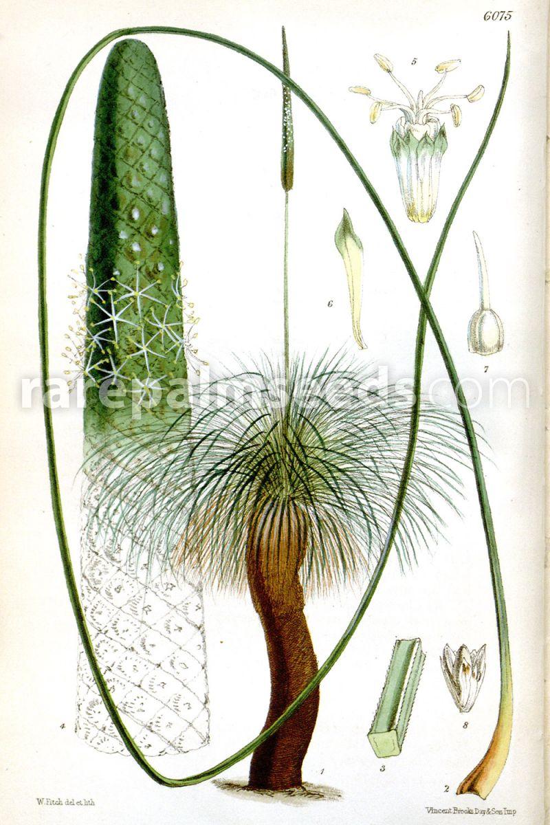 xanthorrhoea quadrangulata  u2013 mount lofty grass tree  u2013 buy seeds at rarepalmseeds com