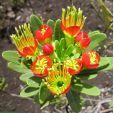 Xanthostemon aurantiacus 'Red & Yellow' – Yellow Xanthostemon