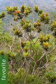 Xanthostemon laurinus – Two-Colored Xanthostemon