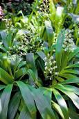 Xiphidium caeruleum – Dove Tail, Palmita