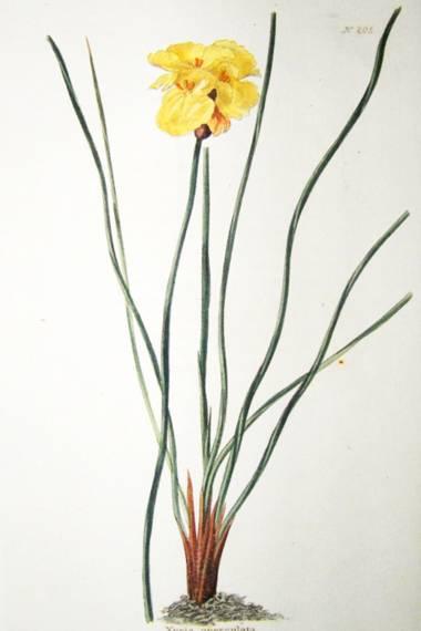 Xyris operculata – Tall Yellow-Eye