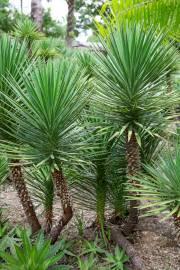 Yucca aloifolia – Spanischer Dolch