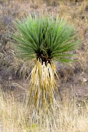 Yucca arizonica – Arizona Yucca