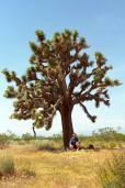 Yucca brevifolia – Joshua Tree