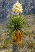 Yucca carnerosana – Giant Dagger