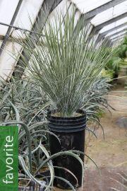 Yucca elata – Soaptree Yucca