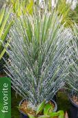 Yucca filifera – Giant Yucca