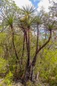 Yucca mixtecana – Mixteca Yucca