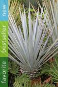 Yucca rigida – Blue Yucca